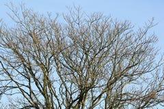 Niederlassungen von kahlen Bäumen Lizenzfreies Stockbild