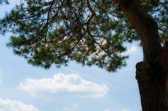 Niederlassungen von Koniferenbäumen gegen den Himmel Lizenzfreies Stockbild
