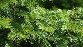 Niederlassungen von Koniferenbaum Abies grandis, das im mäßigen Wind, 4K schwingt stock video footage