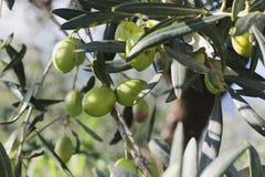 Niederlassungen von Oliven Lizenzfreie Stockbilder