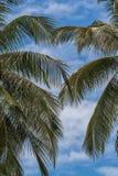 Niederlassungen von Palmen gegen den blauen Himmel Lizenzfreie Stockfotos