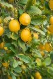 Niederlassungen von reifen Zitronen mit den Knospen. Lizenzfreies Stockfoto