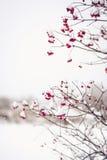 Niederlassungen von roten Viburnum opulus Beeren bedeckt im Schnee Lizenzfreies Stockfoto