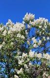 Niederlassungen von weißen lila Blüten Lizenzfreie Stockfotos