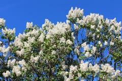 Niederlassungen von weißen lila Blüten Stockbilder