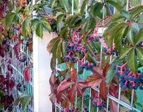 Niederlassungen von wilden Trauben auf dem Gitter Fotolandschaft lizenzfreie stockfotografie