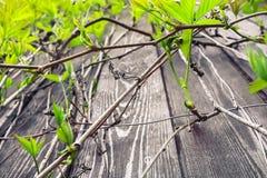 Niederlassungen von wilden Trauben auf einem hölzernen Hintergrund Stockbild