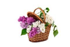 Niederlassungen werden lila in einem Weidenkorb gefärbt Stockfoto