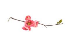 Niederlassungsblüte der japanischen Quitte lokalisiert auf Weiß Lizenzfreie Stockfotografie