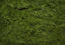 Niederlassungsfrühlinges des Dillparks Hintergrundwachstumsbaummusterrasenwiesenzusammenfassungsblatt-Naturrasengrün n des immerg Lizenzfreie Stockfotos