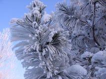 Niederlassungskiefernfichte in der schönen Landschaft des verschneiten Winters des Schnees in Sibirien stockfotos