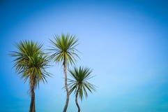 Niederlassungspalmblattbäume auf blauem Himmel ohne Wolke mit schönem Lizenzfreie Stockfotos