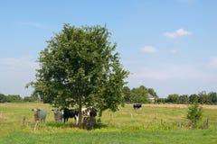 Niederländische Kühe unter Baum Stockbilder