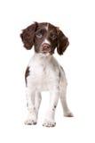 Niederländischer partrige Hund Stockfoto