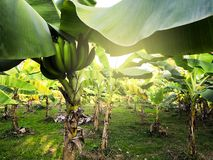 Niedojrzały Cavendish banan obrazy stock