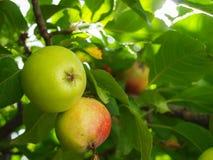 Niedojrzały i dojrzały jabłko na gałąź fotografia stock