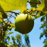 Niedojrzały persimmon na gałąź zdjęcia stock