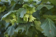 Niedojrzała owoc Corylus avellana zdjęcie royalty free