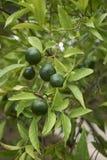 Niedojrzała owoc cytrusa reticulata drzewo zdjęcie stock