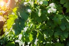 Niedojrzała wiązka round zielony winogrona zbliżenie obraz royalty free