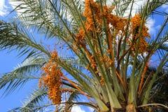 Niedojrzałe kolor żółty daty owoc na Daktylowej palmie zdjęcie stock