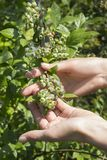 Niedojrzałe zielone jagody czarna jagoda r na krzaku Żeńskie ręki dotykają owoc zdjęcie stock