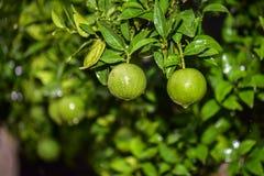 Niedojrzałe Zielone pomarańcze z drzewem fotografia stock