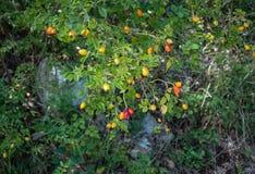Niedojrzały dziki różany krzak zdjęcia royalty free