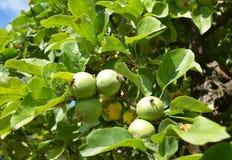 Niedojrzały jabłko na jabłoni obrazy stock