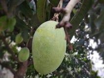 Niedojrzały mango obrazy royalty free
