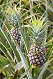 niedojrzały owoc ananas zdjęcie royalty free