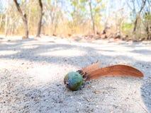 Niedojrzały ziarno Kosmaty Keruing spada puszek na ziemi w lesie fotografia stock