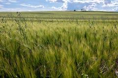Niedojrzały zielony kukurydzany pole zdjęcia stock
