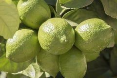 Niedojrzałe cytryny na drzewie Zdjęcia Royalty Free