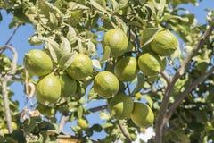 Niedojrzałe cytryny na drzewie Obraz Stock