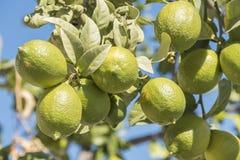 Niedojrzałe cytryny na drzewie Zdjęcie Royalty Free