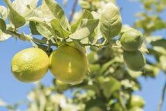 Niedojrzałe cytryny na drzewie Obraz Royalty Free