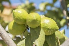 Niedojrzałe cytryny na drzewie Fotografia Stock