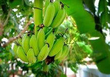 Niedojrzali banany w dżungli Obraz Royalty Free