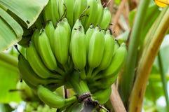 Niedojrzali banany w gospodarstwie rolnym Fotografia Stock