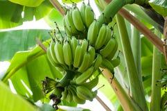 Niedojrzali banany w gospodarstwie rolnym, zakończenie strzał Obraz Royalty Free