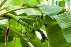 Niedojrzali banany w gospodarstwie rolnym, zakończenie strzał Obraz Stock