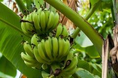 Niedojrzali banany w gospodarstwie rolnym, zakończenie strzał Zdjęcie Royalty Free