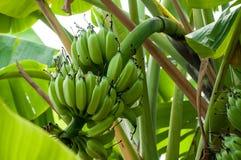 Niedojrzali banany w gospodarstwie rolnym, zakończenie strzał Zdjęcia Royalty Free