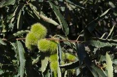 niedojrzali kasztany wiesza drzewnego cień zieleni liście Zdjęcie Stock