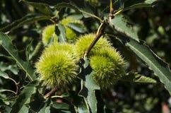 niedojrzali kasztany wiesza drzewnego cień zieleni liście Obrazy Royalty Free