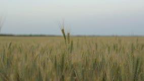Niedojrzali ucho pszeniczny kiwanie w polu przeciw tłu wieczór niebo, zdjęcie wideo