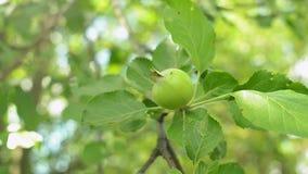 Niedojrzali zieleni jabłka na gałąź kiwają w wiatrze Zbliżenie strzał zbiory wideo