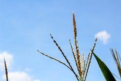 Niedojrzali zieleni młodzi ucho kukurudza zdjęcie stock