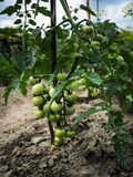 Niedojrzali, zieleni, mali pomidory, Fotografia Royalty Free